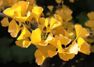 ginkgo-flower-picture