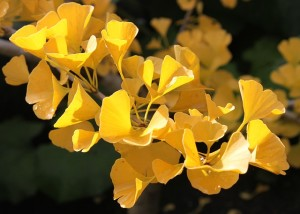 ginkgo flower picture