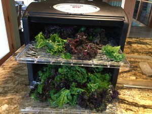 kale for chips going into dehydrator