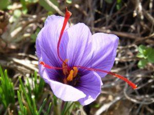 saffron-pic-2